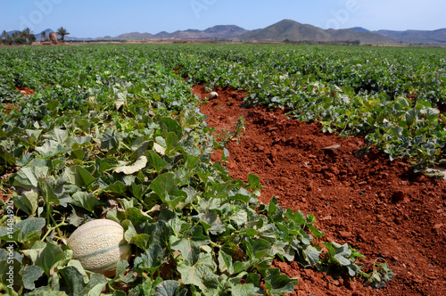 Farm fields, melons plantation