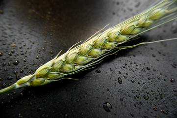 Ear of green wheat on dark background