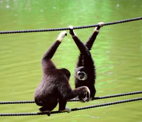 Gibbon.