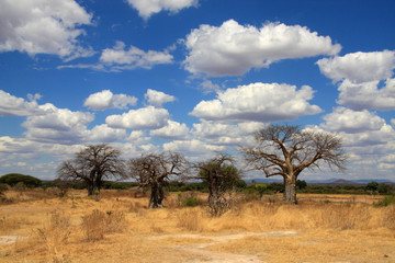 Baobab trees in savanna