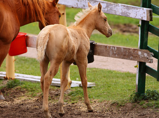 baby colt and mare