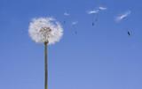 Dandelion Losing Seeds poster