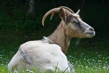Saint Crépin (Dordogne) - La chèvre