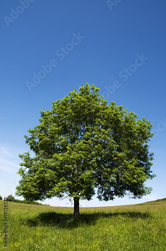 Single tree in field
