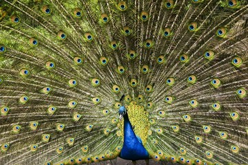 Paradise bird peacock