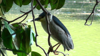Perched heron - HD