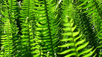 New ferns - HD
