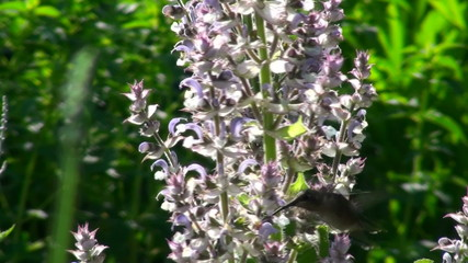 Hummingbird on flower - HD