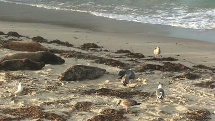 Harbor Seals on La Jolla Cove Beach in San Diego Area