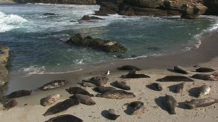 Harbor Seals on Pacific Ocean Beach in San Diego