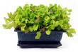 Young lettuce in bonsai pot