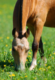 welsh pony grazing poster