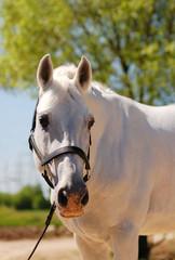white purebred stallion