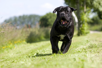 chien cane corso bringé de face courant dans l'herbe