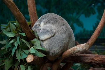 Funny koala sleeping on the branch of eucaliptus tree