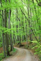Waldweg durch Buchenwald