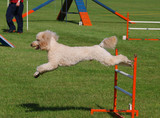 JApricot Poodle Jumped Clear