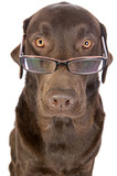 Shot of a Handsome and Clever Labrador in Glasses poster