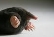 live mole