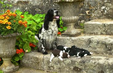 chiens de race springer spaniel
