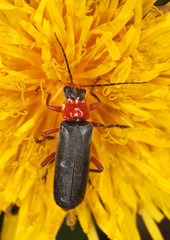 Soldier beetle (Cantharis versicolora) sitting on a dandelion.