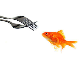 single goldfish facing forks