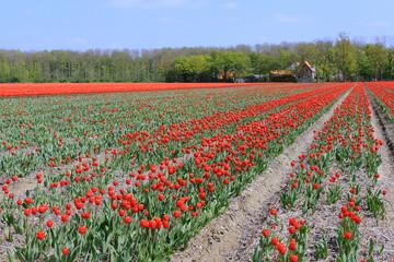 Tulips in the fields