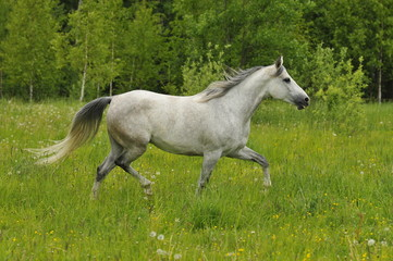 the white horse trots on the meadow