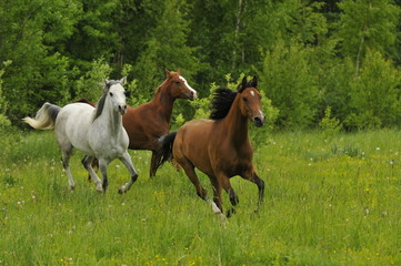 Galloping horses on the meadow in summer