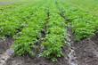 при подкормке картофеля не удобрением, не навозом, а компостом, Секретные технологии выращивания картофеля by...
