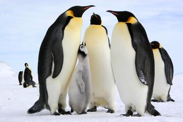 Antarctic : Emperor penguins, Lunch time