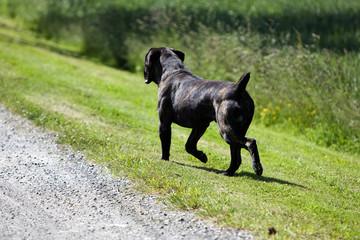 course du cane corso bringé de dos au bord d'une route