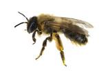 Biene, Pollen poster