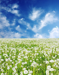 Field with fluffy dandelions and blue sky