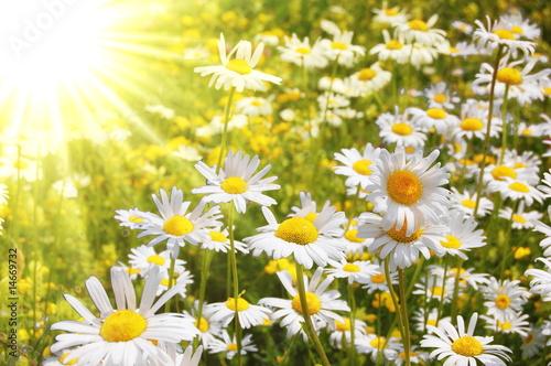 Foto op Canvas Madeliefjes daisy