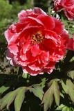 Paeonia suffruticosa,Strauch-Pfingstrose, Peoniaceae
