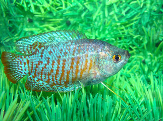 Ljalius ordinary Colisa lalia blue-red aquarian small fish