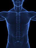 Human spine x ray front view poster