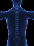 Human spine x ray back view poster