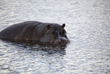 Hippopotamus in the Savuti channel
