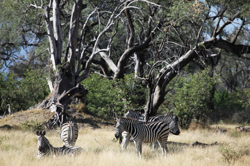 Zebras in dry woodland