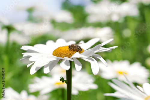 Bee gathering pollen on ox-eye daisy