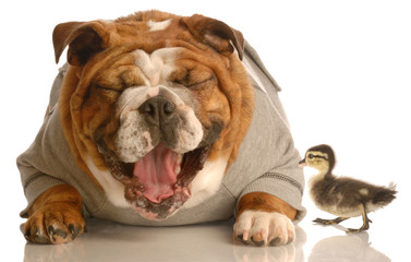 funny animal arguement -  bulldog laughing at duck