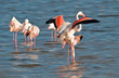 Flamingo mating ...2