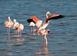 Flamingo mating ...4