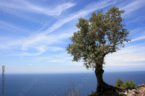 olive tree in front of blue sky and blue see on mallorca