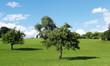 vieux arbres fruitiers