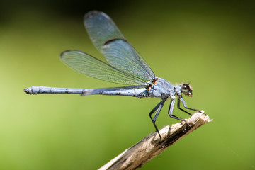 Damselfly on out of focus background