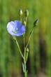 canvas print picture - Fleur de Lin