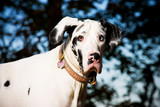 Great Dane Dog poster